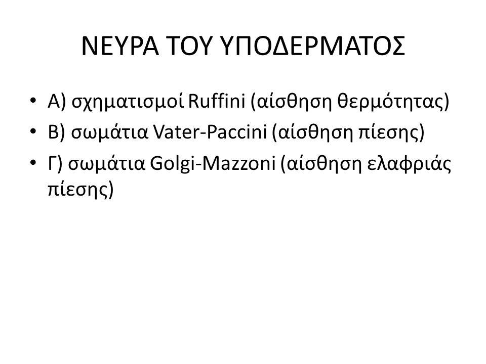 ΝΕΥΡΑ ΤΟΥ ΥΠΟΔΕΡΜΑΤΟΣ Α) σχηματισμοί Ruffini (αίσθηση θερμότητας) Β) σωμάτια Vater-Paccini (αίσθηση πίεσης) Γ) σωμάτια Golgi-Mazzoni (αίσθηση ελαφριάς