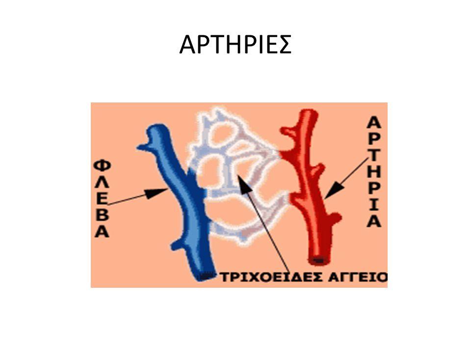 ΦΛΕΒΕΣ Το φλεβικό σύστημα είναι πιο ανεπτυγμένο από το αρτηριακό αφού περιέχει 2 δίχτυα περισσότερα και τα αγγεία του είναι περισσότερα.