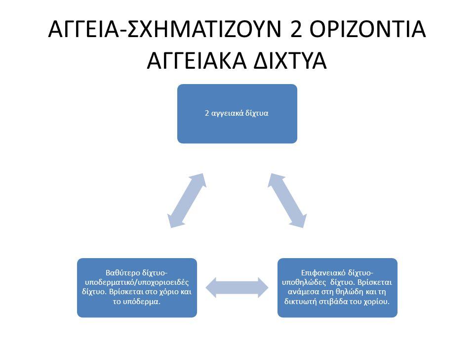 ΑΓΓΕΙΑ-ΣΧΗΜΑΤΙΖΟΥΝ 2 ΟΡΙΖΟΝΤΙΑ ΑΓΓΕΙΑΚΑ ΔΙΧΤΥΑ 2 αγγειακά δίχτυα Επιφανειακό δίχτυο- υποθηλώδες δίχτυο. Βρίσκεται ανάμεσα στη θηλώδη και τη δικτυωτή σ