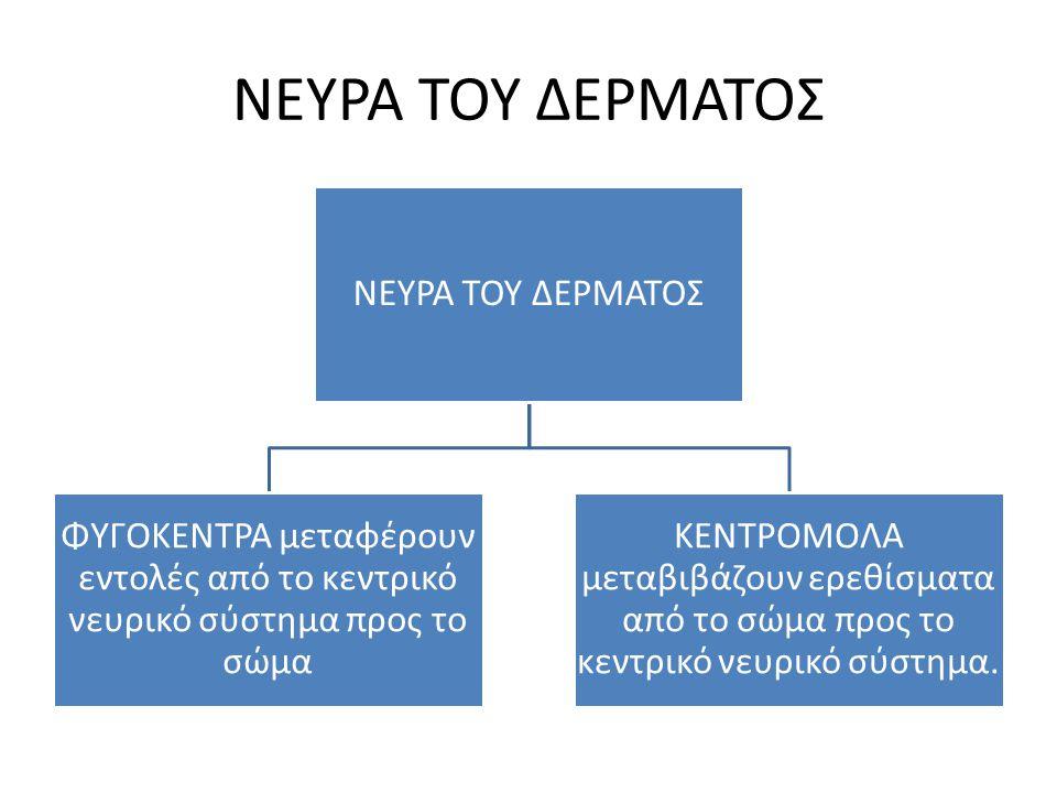 ΝΕΥΡΑ ΤΟΥ ΔΕΡΜΑΤΟΣ ΦΥΓΟΚΕΝΤΡΑ μεταφέρουν εντολές από το κεντρικό νευρικό σύστημα προς το σώμα ΚΕΝΤΡΟΜΟΛΑ μεταβιβάζουν ερεθίσματα από το σώμα προς το κ