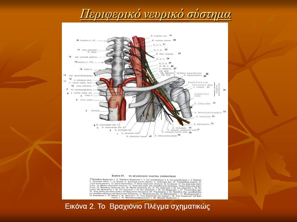 Περιφερικό νευρικό σύστημα Εικόνα 2. Το Βραχιόνιο Πλέγμα σχηματικώς