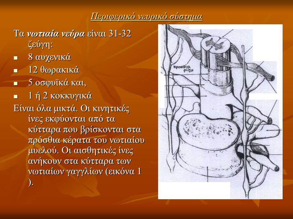 Περιφερικό νευρικό σύστημα Τα νωτιαία νεύρα είναι 31-32 ζεύγη: 8 αυχενικά 8 αυχενικά 12 θωρακικά 12 θωρακικά 5 οσφυϊκά και, 5 οσφυϊκά και, 1 ή 2 κοκκυ