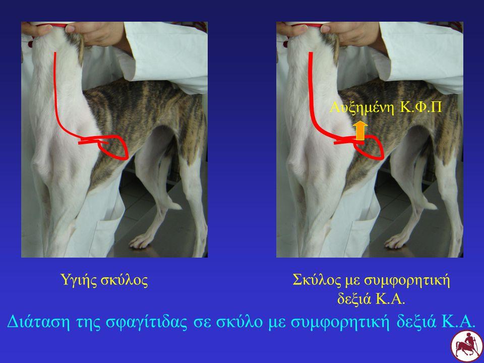 Διάταση της σφαγίτιδας σε σκύλο με συμφορητική δεξιά Κ.Α.