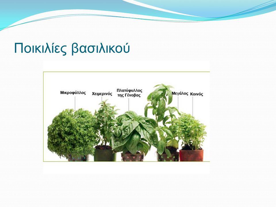 Ποικιλίες βασιλικού