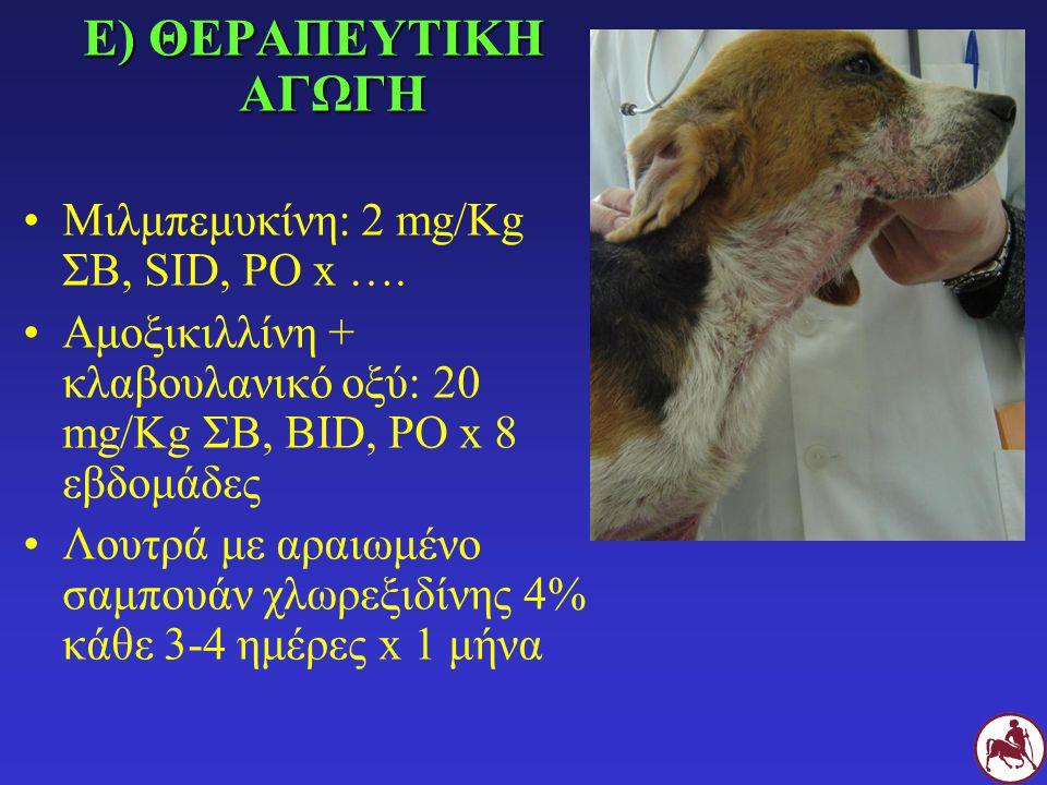 Ε) ΘΕΡΑΠΕΥΤΙΚΗ ΑΓΩΓΗ Μιλμπεμυκίνη: 2 mg/Kg ΣΒ, SID, PO x …. Αμοξικιλλίνη + κλαβουλανικό οξύ: 20 mg/Kg ΣΒ, BID, PO x 8 εβδομάδες Λουτρά με αραιωμένο σα