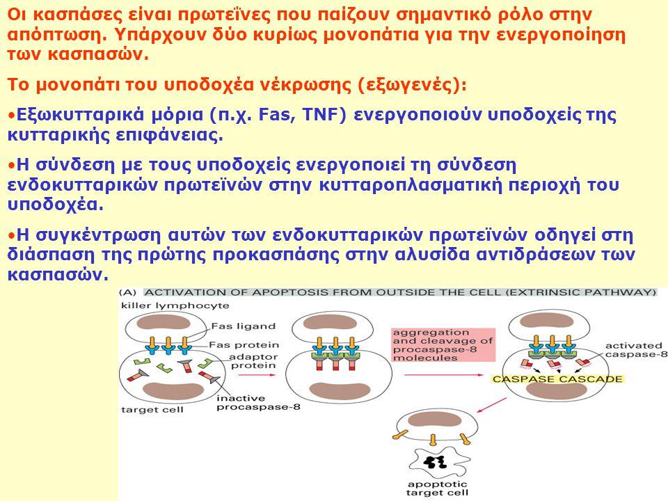 Οι κασπάσες είναι πρωτεΐνες που παίζουν σημαντικό ρόλο στην απόπτωση. Υπάρχουν δύο κυρίως μονοπάτια για την ενεργοποίηση των κασπασών. Το μονοπάτι του