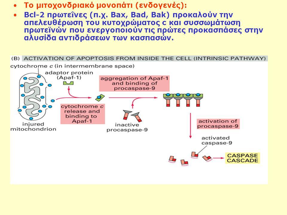 Το μιτοχονδριακό μονοπάτι (ενδογενές): Bcl-2 πρωτεΐνες (π.χ. Bax, Bad, Bak) προκαλούν την απελευθέρωση του κυτοχρώματος c και συσσωμάτωση πρωτεϊνών πο