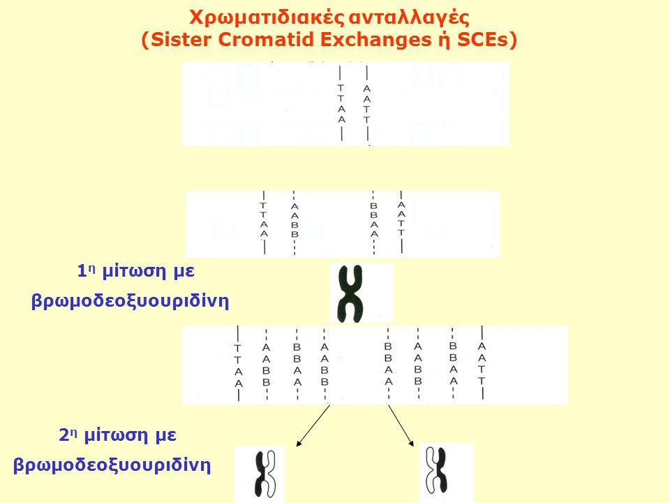 1 η μίτωση με βρωμοδεοξυουριδίνη Χρωματιδιακές ανταλλαγές (Sister Cromatid Exchanges ή SCEs) 2 η μίτωση με βρωμοδεοξυουριδίνη