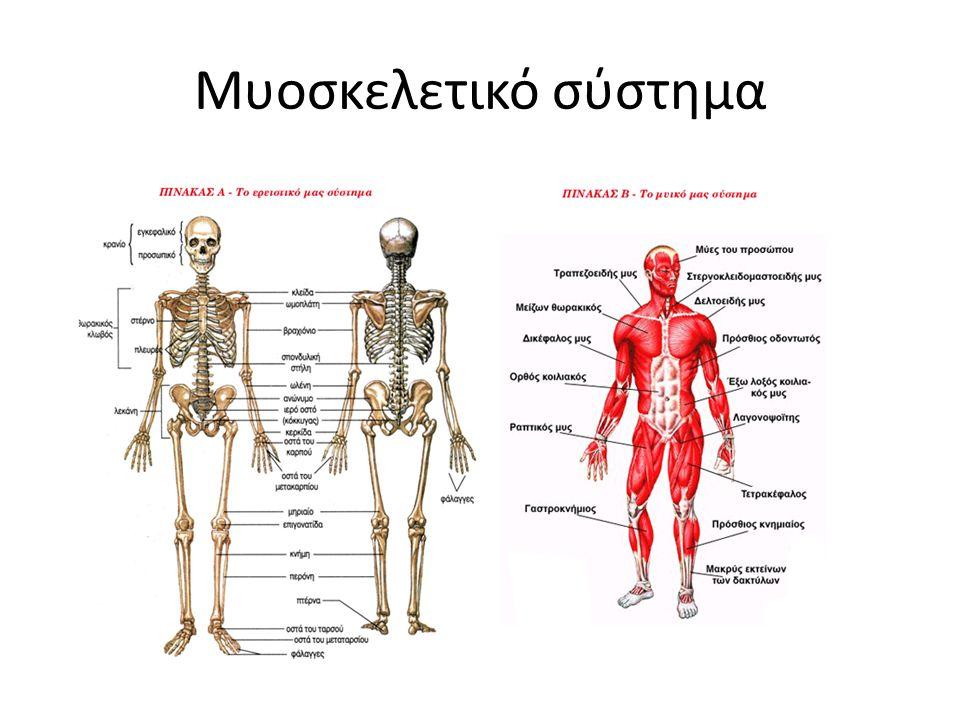 Οστό – Στατική υποστήριξη του οργανισμού – Κίνηση Σύνδεσμος – Φέρνει σε επαφή τα οστά που συμμετέχουν σε μια άρθρωση – Καθοδηγεί την κίνηση της άρθρωσης – Αισθητήρας για την αποφυγή υπερφόρτισης Μυς – Ικανότητα παραγωγής δύναμης Τένοντας – Σύνδεση μυών στα οστά