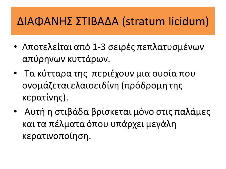 ΔΙΑΦΑΝΗΣ ΣΤΙΒΑΔΑ (stratum licidum) Αποτελείται από 1-3 σειρές πεπλατυσμένων απύρηνων κυττάρων. Τα κύτταρα της περιέχουν μια ουσία που ονομάζεται ελαιο
