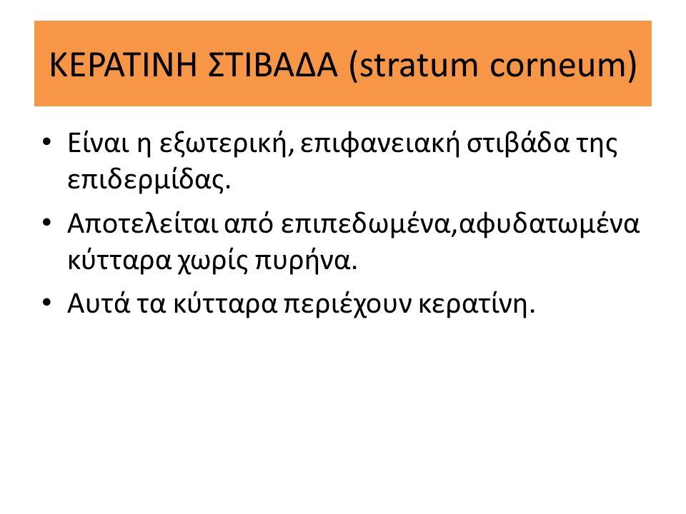 ΚΕΡΑΤΙΝΗ ΣΤΙΒΑΔΑ (stratum corneum) Είναι η εξωτερική, επιφανειακή στιβάδα της επιδερμίδας. Αποτελείται από επιπεδωμένα,αφυδατωμένα κύτταρα χωρίς πυρήν