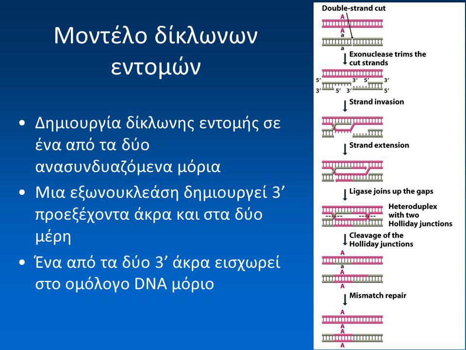 Μοντέλο δίκλωνων εντομών Δημιουργία δίκλωνης εντομής σε ένα από τα δύο ανασυνδυαζόμενα μόρια Μια εξωνουκλεάση δημιουργεί 3' προεξέχοντα άκρα και στα δύο μέρη Ένα από τα δύο 3' άκρα εισχωρεί στο ομόλογο DNA μόριο