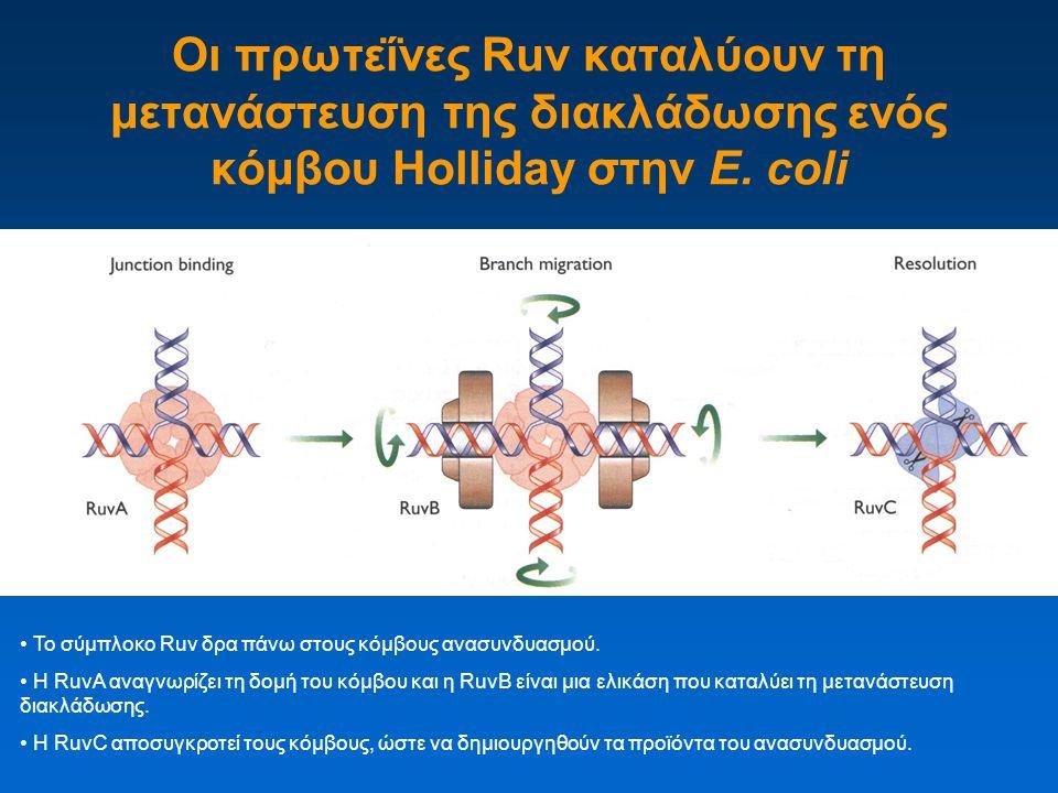 Οι πρωτεΐνες Ruv καταλύουν τη μετανάστευση της διακλάδωσης ενός κόμβου Holliday στην E. coli Το σύμπλοκο Ruv δρα πάνω στους κόμβους ανασυνδυασμού. Η R