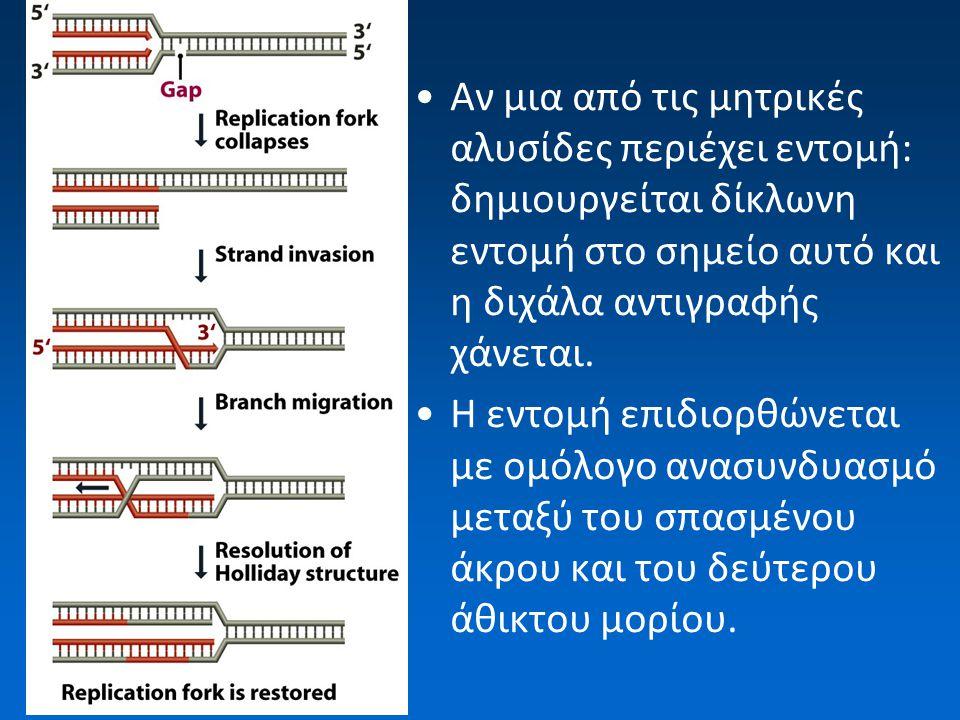 Αν μια από τις μητρικές αλυσίδες περιέχει εντομή: δημιουργείται δίκλωνη εντομή στο σημείο αυτό και η διχάλα αντιγραφής χάνεται. Η εντομή επιδιορθώνετα