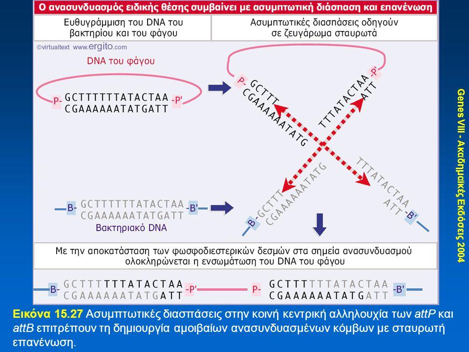 Genes VIII - Ακαδημαϊκές Εκδόσεις 2004 Εικόνα 15.27 Ασυμπτωτικές διασπάσεις στην κοινή κεντρική αλληλουχία των attP και attB επιτρέπουν τη δημιουργία αμοιβαίων ανασυνδυασμένων κόμβων με σταυρωτή επανένωση.