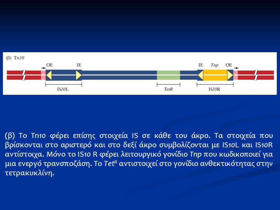 (β) Το Tn10 φέρει επίσης στοιχεία IS σε κάθε του άκρο. Τα στοιχεία που βρίσκονται στο αριστερό και στο δεξί άκρο συμβολίζονται με IS10L και IS10R αντί