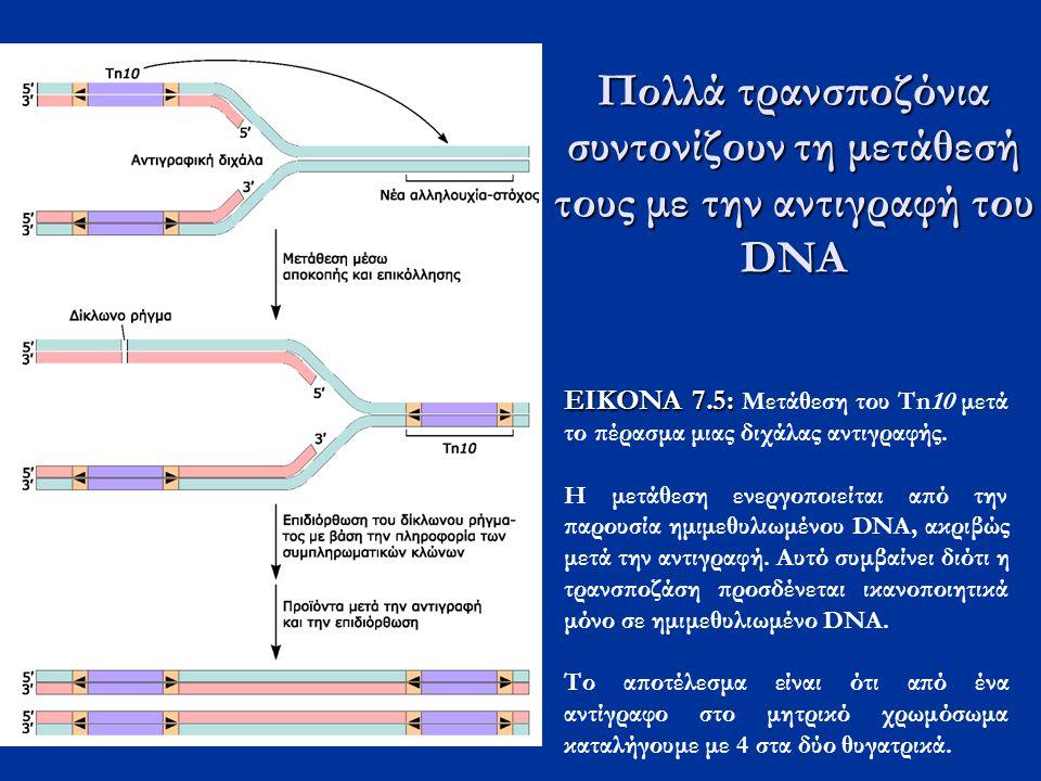 ΕΙΚΟΝΑ 7.5: ΕΙΚΟΝΑ 7.5: Μετάθεση του Tn10 μετά το πέρασμα μιας διχάλας αντιγραφής. Η μετάθεση ενεργοποιείται από την παρουσία ημιμεθυλιωμένου DNA, ακρ
