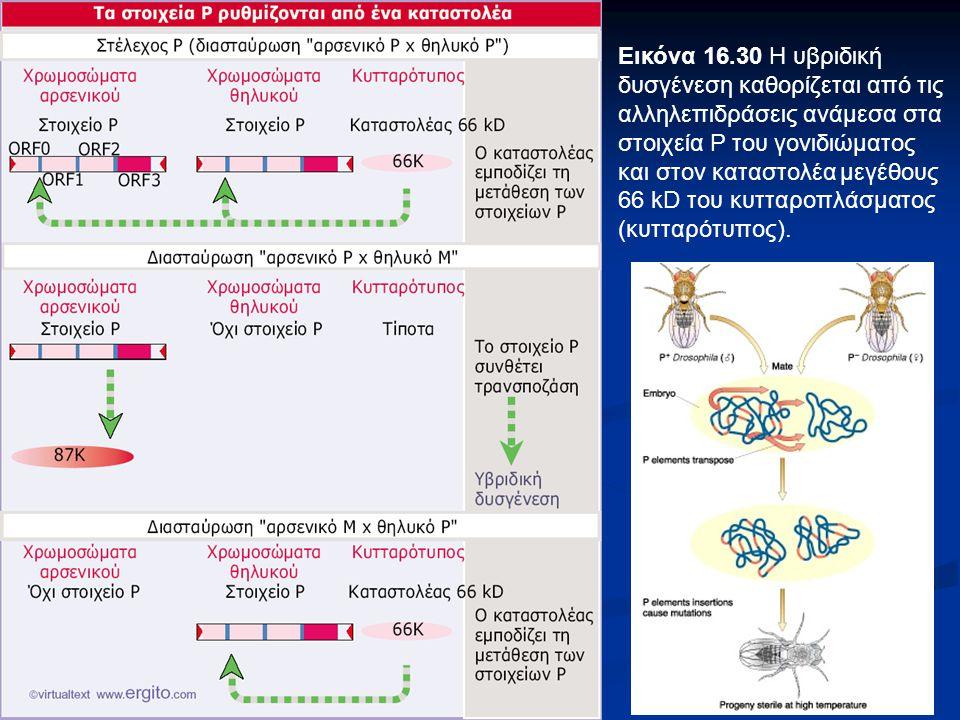 Εικόνα 16.30 Η υβριδική δυσγένεση καθορίζεται από τις αλληλεπιδράσεις ανάμεσα στα στοιχεία Ρ του γονιδιώματος και στον καταστολέα μεγέθους 66 kD του κ