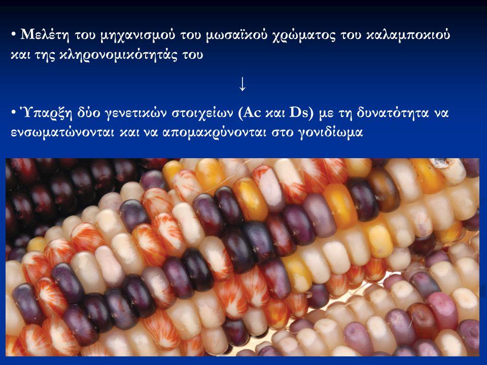Πρότυπο έκφρασης της ανθοκυανίνης Σταθερές μεταλλαγές: όλοι οι σπόροι χρώμα λευκό (όχι Αc, Ds αναστέλλει την έκφραση των ανθοκυανινών) Ασταθείς μεταλλαγές: συχνή επανεμφάνιση μοβ χρώματος (παρουσία Ac → Ds μετακινείται με συνέπεια την εμφάνιση μοβ χρώματος) Διασταυρώσεις ανάμεσα σε φυτά με ασταθείς μεταλλάξεις και φυτά με σταθερές → υψηλή συχνότητα αγρίου τύπου ↓ Ύπαρξη δύο γενετικών στοιχείων (Ac και Ds) με τη δυνατότητα να ενσωματώνονται και να απομακρύνονται στο γονιδίωμα