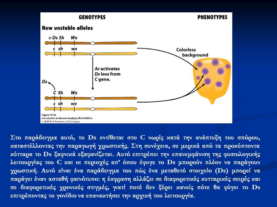 Στο παράδειγμα αυτό, το Ds εντίθεται στο C νωρίς κατά την ανάπτυξη του σπόρου, καταστέλλοντας την παραγωγή χρωστικής. Στη συνέχεια, σε μερικά από τα π