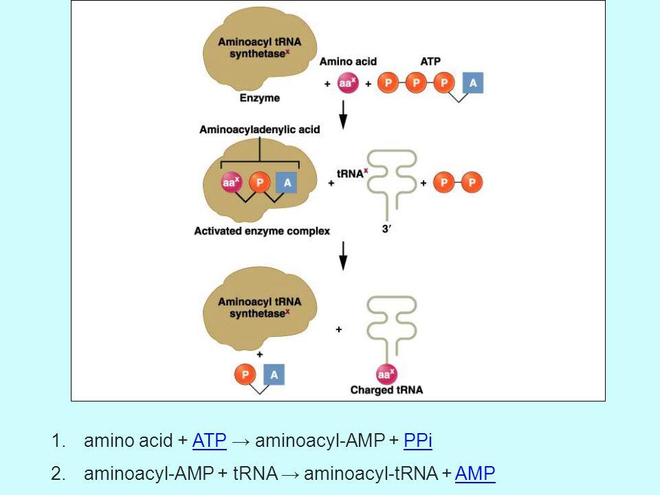 1.amino acid + ATP → aminoacyl-AMP + PPiATPPPi 2.aminoacyl-AMP + tRNA → aminoacyl-tRNA + AMPAMP