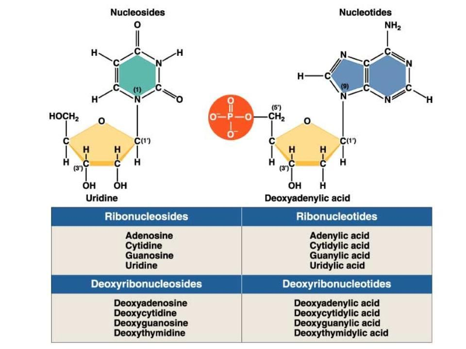 Matthew Messelson Franklin Stahl SEMI-CONSERVATIVE DNA REPLICATION