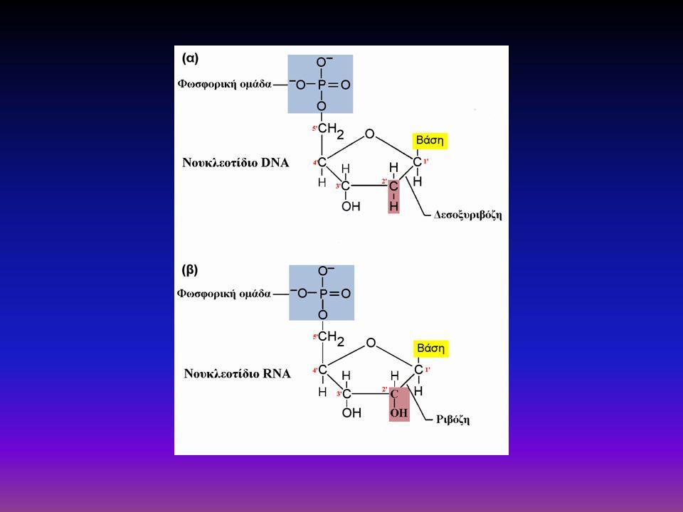 Η αλυσίδα του DNA έχει κατεύθυνση 5'-3' Οι φωσφοδιεστερικοί δεσμοί είναι λιγότερο ευάλωτοι στην υδρόλυση σε σχέση με άλλους εστερικούς δεσμούς Η απουσία –ΟΗ στον 2'C ενισχύει την αβντίσταση στην υδρόλυση και άρα το DNA είναι πιο σταθερό από το RNA
