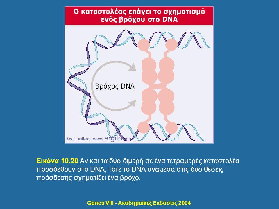 Genes VIII - Ακαδημαϊκές Εκδόσεις 2004 Εικόνα 10.20 Αν και τα δύο διμερή σε ένα τετραμερές καταστολέα προσδεθούν στο DNA, τότε το DNA ανάμεσα στις δύο