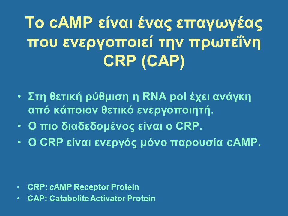 To cAMP είναι ένας επαγωγέας που ενεργοποιεί την πρωτεΐνη CRP (CAP) Στη θετική ρύθμιση η RNA pol έχει ανάγκη από κάποιον θετικό ενεργοποιητή. Ο πιο δι