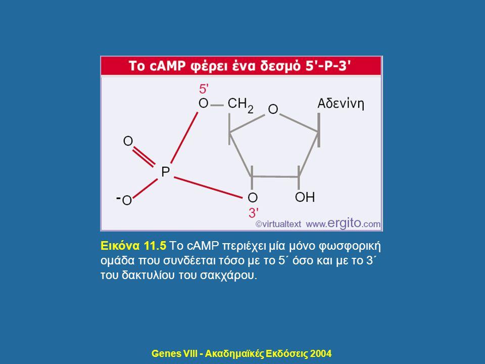 Genes VIII - Ακαδημαϊκές Εκδόσεις 2004 Εικόνα 11.5 Tο cAMP περιέχει μία μόνο φωσφορική ομάδα που συνδέεται τόσο με το 5΄ όσο και με το 3΄ του δακτυλίο