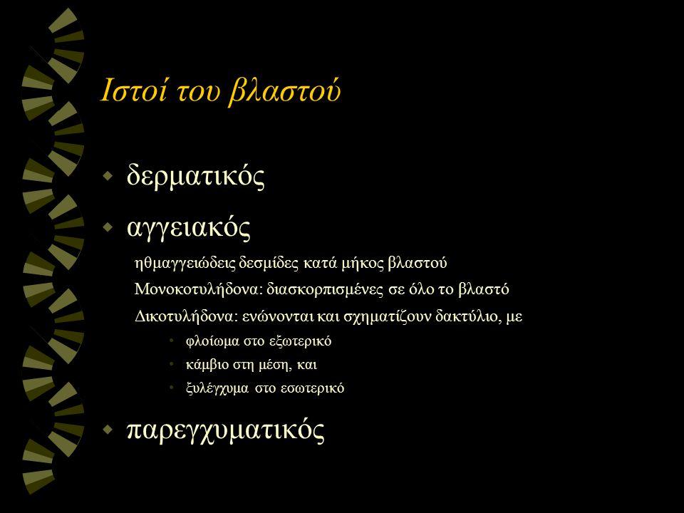 Ιστοί του βλαστού w δερματικός w αγγειακός ηθμαγγειώδεις δεσμίδες κατά μήκος βλαστού Μονοκοτυλήδονα: διασκορπισμένες σε όλο το βλαστό Δικοτυλήδονα: εν