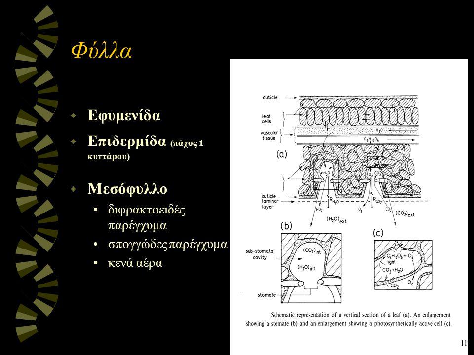 Φύλλα w Εφυμενίδα w Επιδερμίδα (πάχος 1 κυττάρου) w Μεσόφυλλο διφρακτοειδές παρέγχυμα σπογγώδες παρέγχυμα κενά αέρα