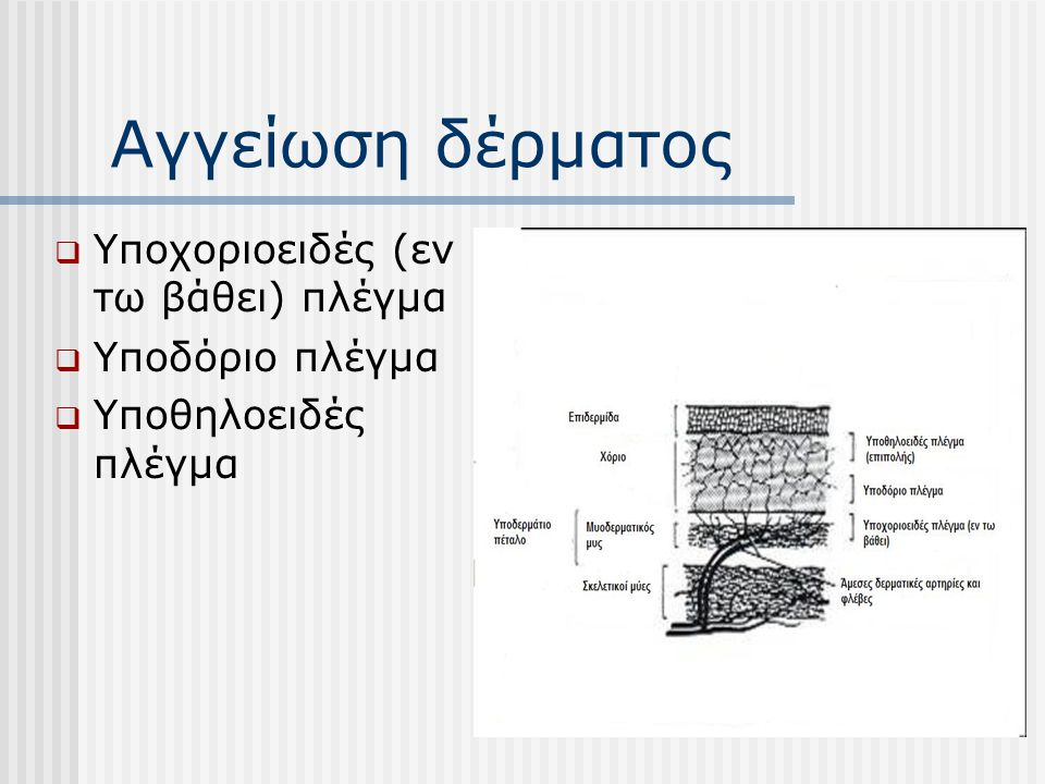 Αγγείωση δέρματος  Υποχοριοειδές (εν τω βάθει) πλέγμα  Υποδόριο πλέγμα  Υποθηλοειδές πλέγμα