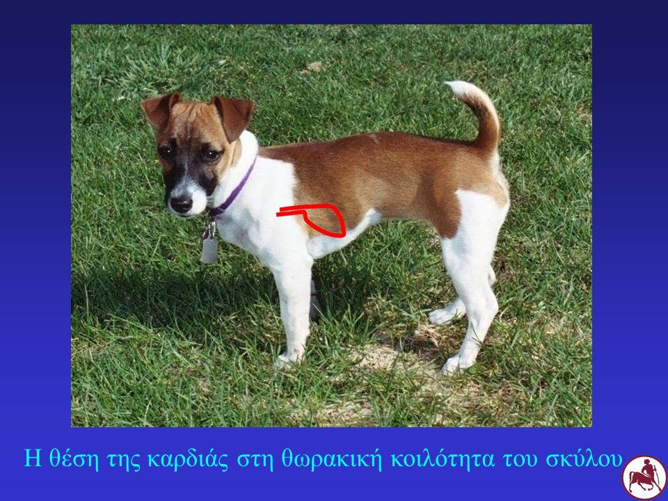 Υγιής σκύλος Σκύλος με περικαρδιακή συλλογή Μειωμένη ένταση των καρδιακών ήχων σε σκύλο με περικαρδιακή συλλογή Δ Α Δ Α