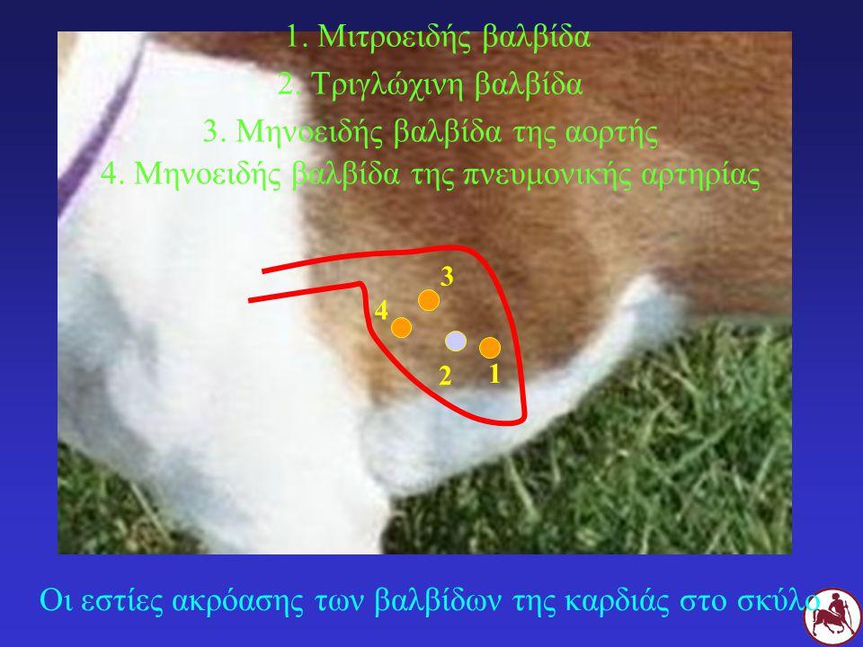 Οι εστίες ακρόασης των βαλβίδων της καρδιάς στο σκύλο 1.