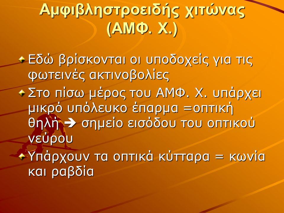 Αμφιβληστροειδής χιτώνας (ΑΜΦ.