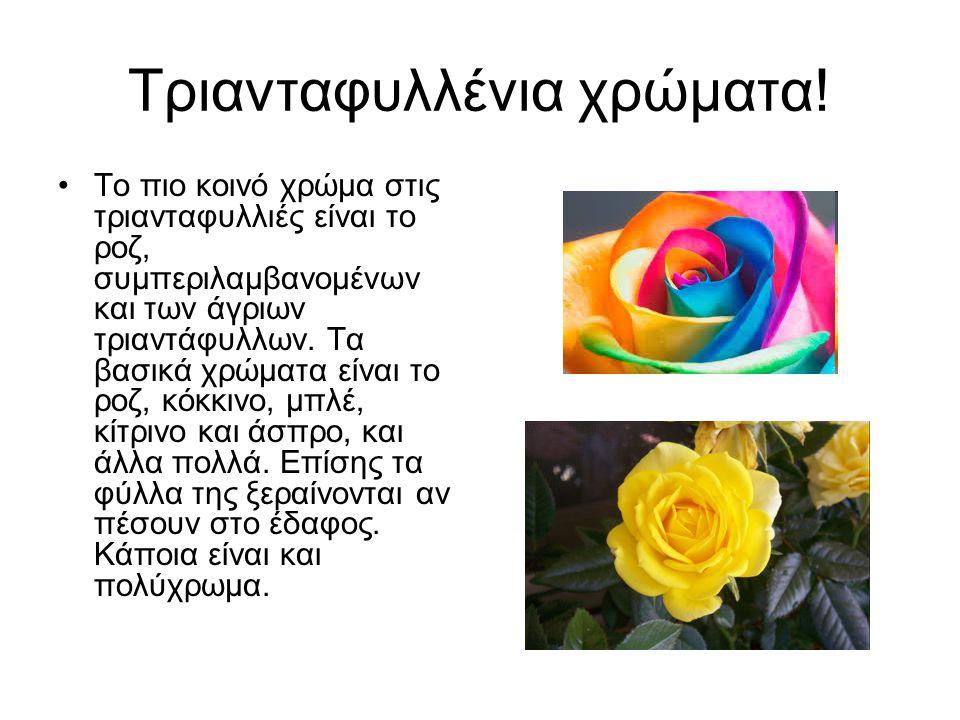 Τριανταφυλλένια χρώματα! Το πιο κοινό χρώμα στις τριανταφυλλιές είναι το ροζ, συμπεριλαμβανομένων και των άγριων τριαντάφυλλων. Τα βασικά χρώματα είνα