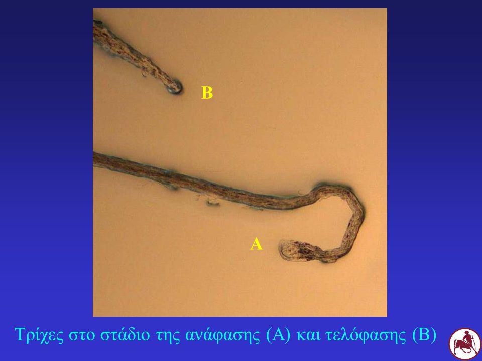 Τρίχες στο στάδιο της ανάφασης (Α) και τελόφασης (Β) Α Β