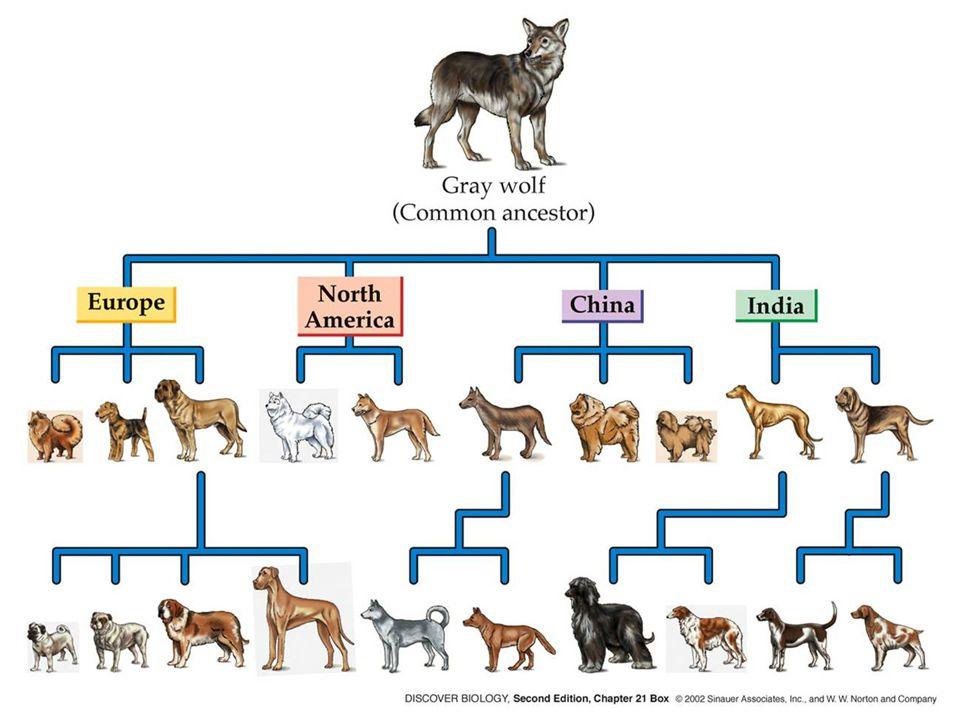 Βασική τεχνολογία GMOs11 Τα άκρα στις ράτσες των σκύλων: Chihuahua και Great Dane