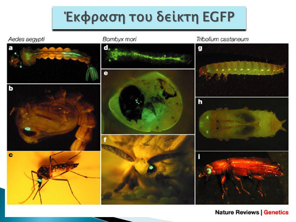 Δύο πρακτικές εφαρμογές: –Νέα στελέχη γενετικού καθορισμού φύλου εντόμων γεωργικής σημασίας –Κουνούπια χωρίς ελονοσία