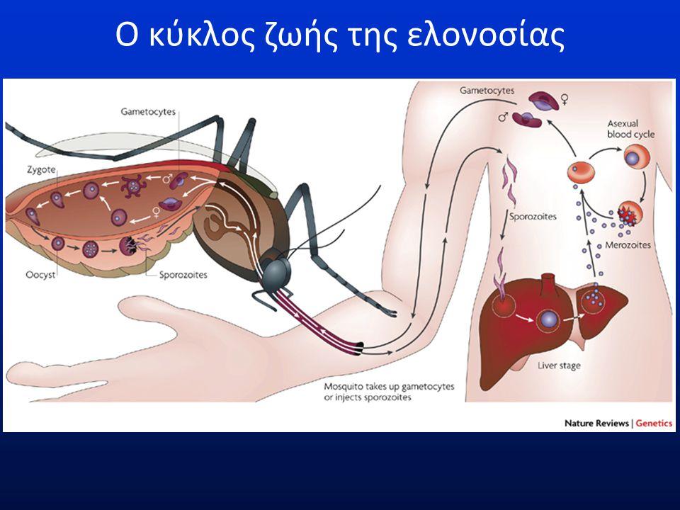 Ο κύκλος του πλασμωδίου στο κουνούπι Parasites cross the mosquito epithelia possibly by a receptor mediated mechanism.