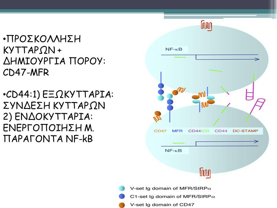 ΠΡΟΣΚΟΛΛΗΣΗ ΚΥΤΤΑΡΩΝ + ΔΗΜΙΟΥΡΓΙΑ ΠΟΡΟΥ: CD47-MFR CD44:1) ΕΞΩΚΥΤΤΑΡΙΑ: ΣΥΝΔΕΣΗ ΚΥΤΤΑΡΩΝ 2) ΕΝΔΟΚΥΤΤΑΡΙΑ: ΕΝΕΡΓΟΠΟΙΗΣΗ Μ. ΠΑΡΑΓΟΝΤΑ NF-kB
