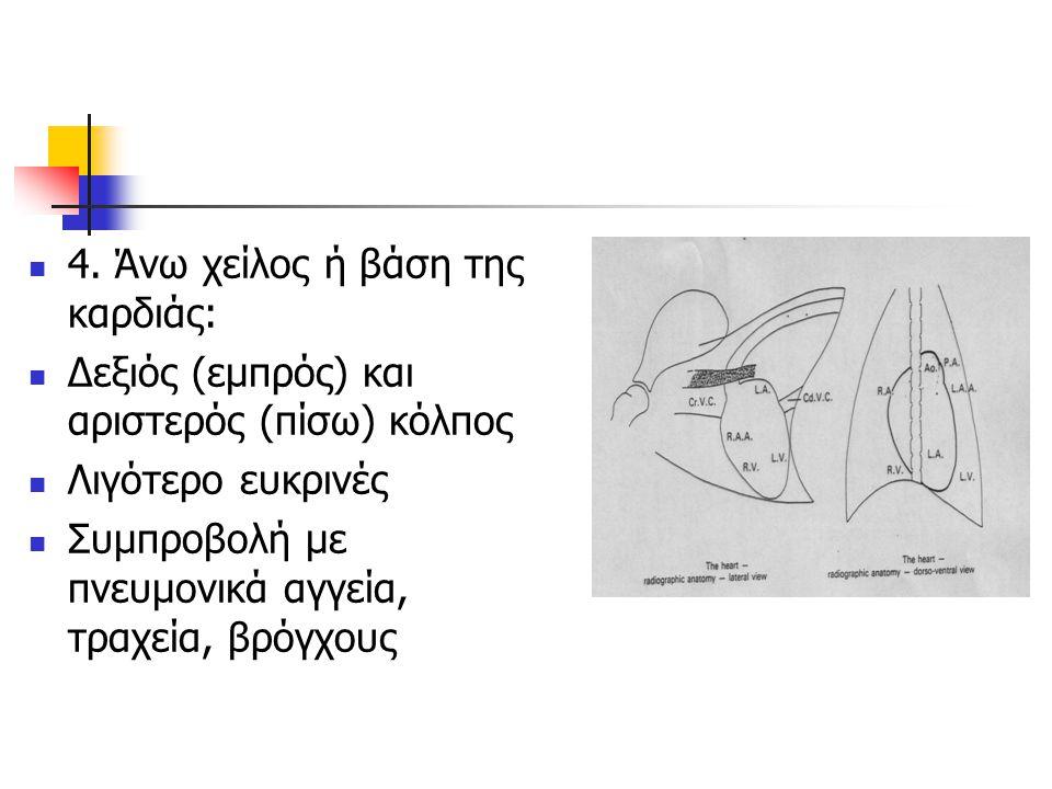 4. Άνω χείλος ή βάση της καρδιάς: Δεξιός (εμπρός) και αριστερός (πίσω) κόλπος Λιγότερο ευκρινές Συμπροβολή με πνευμονικά αγγεία, τραχεία, βρόγχους