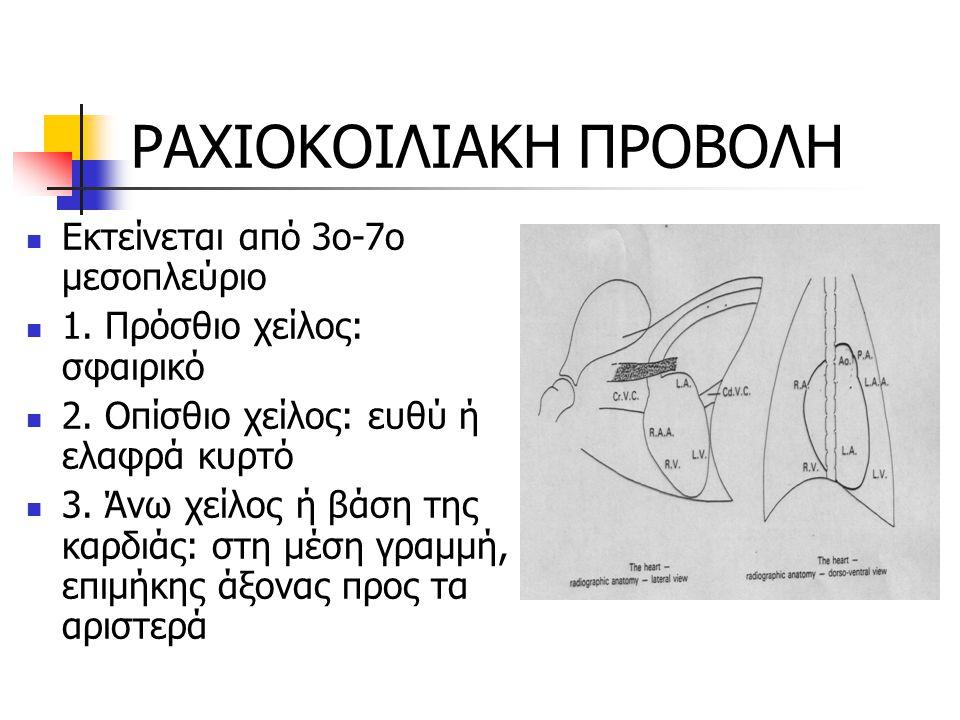 ΡΑΧΙΟΚΟΙΛΙΑΚΗ ΠΡΟΒΟΛΗ Εκτείνεται από 3ο-7ο μεσοπλεύριο 1. Πρόσθιο χείλος: σφαιρικό 2. Οπίσθιο χείλος: ευθύ ή ελαφρά κυρτό 3. Άνω χείλος ή βάση της καρ