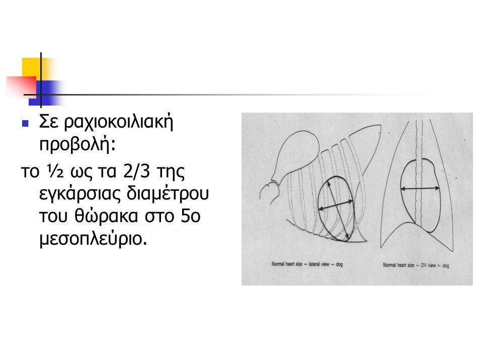 Σε ραχιοκοιλιακή προβολή: το ½ ως τα 2/3 της εγκάρσιας διαμέτρου του θώρακα στο 5ο μεσοπλεύριο.