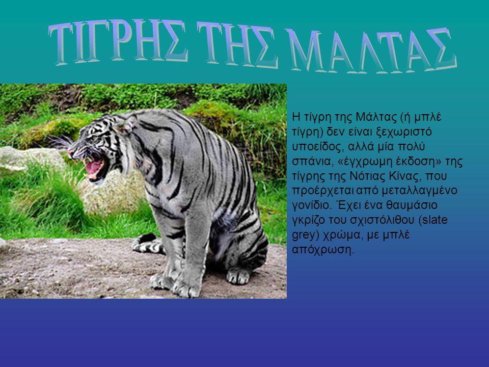 Η τίγρη της Μάλτας (ή μπλέ τίγρη) δεν είναι ξεχωριστό υποείδος, αλλά μία πολύ σπάνια, «έγχρωμη έκδοση» της τίγρης της Νότιας Κίνας, που προέρχεται από