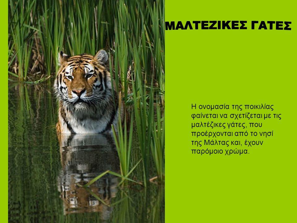 Η ονομασία της ποικιλίας φαίνεται να σχετίζεται με τις μαλτέζικες γάτες, που προέρχονται από το νησί της Μάλτας και, έχουν παρόμοιο χρώμα.
