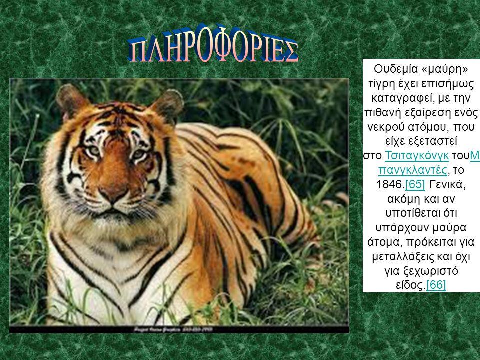 Ουδεμία «μαύρη» τίγρη έχει επισήμως καταγραφεί, με την πιθανή εξαίρεση ενός νεκρού ατόμου, που είχε εξεταστεί στο Τσιταγκόνγκ τουΜ πανγκλαντές, το 184