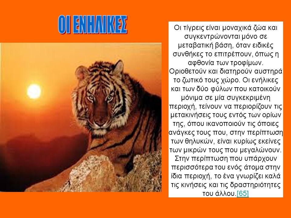 Οι τίγρεις είναι μοναχικά ζώα και συγκεντρώνονται μόνο σε μεταβατική βάση, όταν ειδικές συνθήκες το επιτρέπουν, όπως η αφθονία των τροφίμων. Οριοθετού