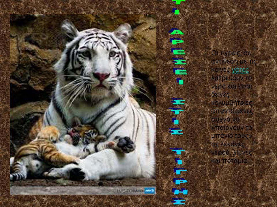 Οι τίγρεις, σε αντίθεση με τις κοινές γάτες, λατρεύουν το νερό και είναι δεινές κολυμβήτριες, απαντώμενες συχνά να «παίρνουν το μπάνιο τους» σε λεκάνε